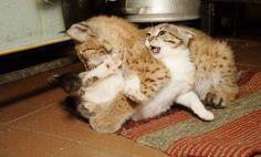 Линда и Дуся — неразлучные друзья  Здесь  рыси  Линде  и  кошке  Дусе  по  2  месяца.