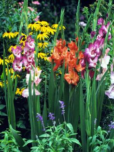 These tender bulbs are planted starting in spring, then every few weeks to ensure continuous bloom: http://www.bhg.com/gardening/flowers/annuals/best-annuals-for-cutting/?socsrc=bhgpin032415gladioulus&page=6
