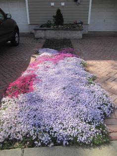 Creeping Phlox ... a hardy low spreading perennial. Great for planting at the 'feet' of clematis (they like to have protection from the heat and cold at their roots, helps hold moisture as well). Also great for those hard to fill areas that just need 'something' to complete your landscape or under taller plantings that allow the sun to shine through. A must for any rock garden as well. They come in many exciting vibrant colors. Plant in Spring or Fall as bedding plants. Enjoy!