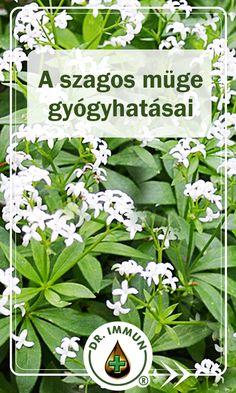 A szagos müge tea első híres fogyasztójának I. Szaniszló lengyel királyt tartják, aki a legenda szerint testi erejét és frissességét a reggelente elfogyasztott teájának köszönhette. Gyógyhatásai: keringésjavító, enyhe görcsoldó, vízhajtó, gyulladáscsökkentő, nyugtató. Népies neve: csillagos májusfű, érdeske, erdőmesterfű, müge. Kiváló gyógynövény. Health 2020, Spices, Health Fitness, Herbs, Lawn And Garden, Pictures, Spice, Herb, Fitness