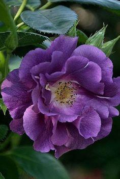 Pretty Purple Rose Flower.