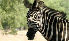 Grévy zebra - Safaripark Beekse Bergen. Afrika gevaarlijk dichtbij!