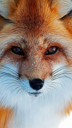 Kaunis kettu Beautiful fox