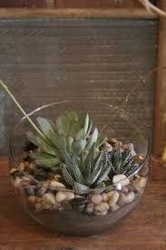 Resultado de imagen para small conical cactus