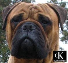 The next dog I will own. Love the bull mastiff.