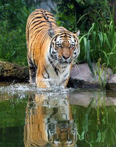 Amur Tiger; Run! by Klaus Wiese on 500px