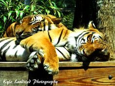 Two beautiful tigers laying together at Naples Zoo taken by a Canon PowerShot SX510 HS.