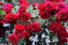 Beautiful blooming red rose bushes in the garden