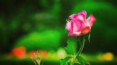 #rose  #flower #flowers #ig_flowers #superb_flowers #FlowerStalking #wp_flower #floral_splash #薔薇