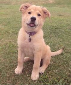The Mix: Golden Retriever/Chow ChowFun Fact: It's impossible to resist nuzzling a Golden Chow's neck... - Mom.me