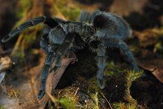 Brazilian Black Tarantula ~ Grammostola pulchra | Flickr - Photo Sharing!