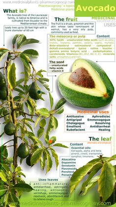 ❧ Avocado health benefits. Infographic. Summary of the general characteristics of the avocado plant. Medicinal properties and uses more common.  http://www.medicinalplants-pharmacognosy.com/herbs-medicinal-plants/avocado/benefits-infography/