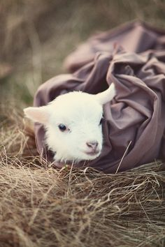 Pigs in a blanket?  What about lambs?