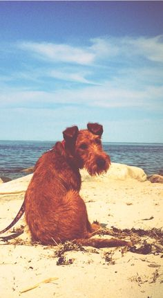 Séamus, another day in Cape Cod. Irish Terrier