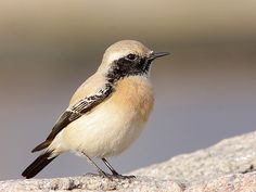 Chasco do Deserto // Desert Wheatear | Flickr - Photo Sharing!