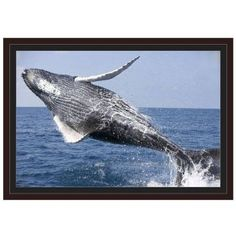 Humpback Whale Calf, Breaching Silver Bank Area, Dominican Republic by Eazl Walnut Framed Premium Gallery Wrap, Size: 16 x 24