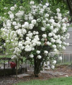 A Snowball TREE   Some limbs have 6 snowballs on it  Don't see one of these often