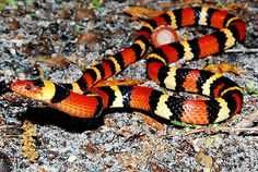 A harmless Scarlet King Snake - often confused with the very venomous Coral Snake (red to black, venom lack)