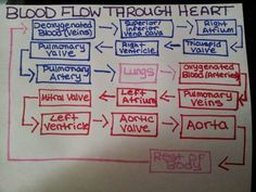 Memorize this! Blood Flow Through the Heart ~ Nursing, Phlebotomy Rn School, Medical School, School Stuff, Nursing School Notes, Nursing Schools, Nursing Classes, Cardiac Nursing, Pharmacology Nursing, Phlebotomy