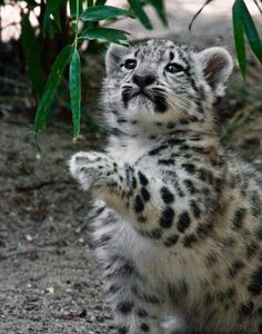 Clouded Snow Leopard Cub Striking a Pose or Seeing Something to Play With? (by melmark44).
