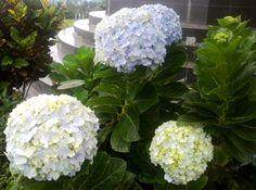 Rumpun Bunga Hydrangea Tiga Warna di Depan Tangga