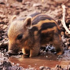 Tiny #warthog cooling off in a mud puddle  #mud #tiny #cutestever #sopretty