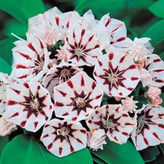 Kalmia 'Peppermint' – This hardy native has been called the most beautiful flowering shrub of North America!...mountain laurel