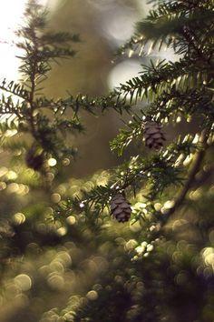 gyclli:  Pine Bokehby Spademm