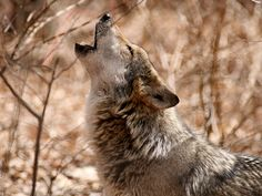 A federal judge today rejected provisions in a 2015 federal management rule that unlawfully imposed roadblocks to recovery of the endangered Mexican wolf. The rule arbitrarily limited the lobos' population numbers, banned them from needed recovery habitat, and loosened the rules against killing the animals in the wild.