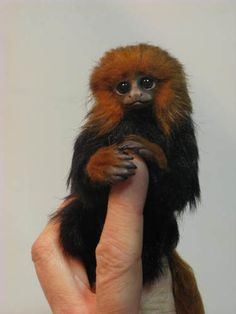 Baby golden lion tamarin OOAK by Angelica Golden Lion Tamarin, Golden Lions, Simply Beautiful, Life Is Beautiful, Wild Animals, Baby Animals, Los Primates, Ape Monkey, Human Babies