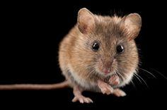 Stock Photo : A Western harvest mouse, Reithrodontomys megalotis.