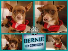 Little paws crossed in his little, red coat! *EUTHANASIA LIST 02/24/14 MUST BE TAGGED BY 2 PM!**VIP REDUCED ADOPTION FEE $25.00* BERNIE  DH409D ID 22069201 *URGENT-HW+* but fully sponsored  Arlington, TX Animal Services Fosters are welcome also! https://www.facebook.com/photo.php?fbid=641707682532630&set=a.425018764201524.87114.234124973290905&type=1&theater&notif_t=comment_mention