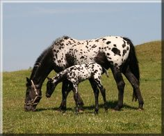 Scotia Ace of Spades - just fascinated by spotted horses