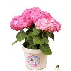 hortensie 39 diva fiore 39 blau mediterrane pflanzen. Black Bedroom Furniture Sets. Home Design Ideas