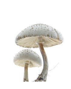 ˗ˏˋ alice in wonderland ˎˊ˗ Film Alice In Wonderland, Alice In Wonderland Aesthetic, Adventures In Wonderland, Design Fonte, Alice Liddell, White Mushrooms, Glowing Mushrooms, Mushroom Fungi, A Series Of Unfortunate Events