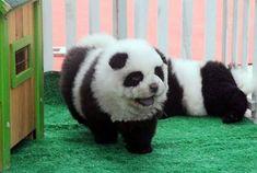 A Dog Sharing The Exact Same Colors As A Panda