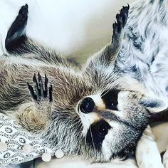 "Pumpkin The Raccoon su Instagram: ""Why are you standing upside down? ⬇️ #pumpkintheraccoon #baby #raccoon #instadaily #instagood #instamood #instalike #photooftheday #weeklyfluff #igers #pet #petstagram"""