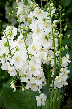 The ancient Romans used the fruit and flowers of the Althaea species of hollyhock in many culinary recipes. Hollyhock is also used in traditional Chinese Medicine. In the Victorian Language of Flowers, hollyhocks had a meaning of fruitfulness and ambition, and white hollyhocks were said to represent the female ambition.