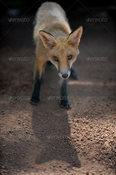 Red Fox ...  animal, canid, canine, carnivore, dog, etna, europe, fauna, field, flowers, forest, forward, fox, fur, grass, hunting, italy, lawn, look, looking, mammal, meadow, nature, one, orange, outdoor, photo, photography, predator, red, sicily, vulpes, wild, wildlife, wood, yellow Predator Hunting, Fox Animal, Ecommerce Logo, Hunting Tips, Coyotes, Website Themes, Red Fox, Fox Fur, Orange