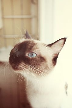 """There is a particular disdain with which Siamese cats regard you."" --Douglas Adams"