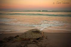 Loggerhead at sunset