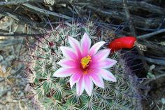 What:Fishook Pincushion  Where:Usery Mountain Regional Park When: 4-10-15 Photo by: Ron Scott