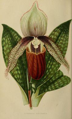 "Cypridedium veitchianum. "" Ladies' Slipper Orchid. The Intellectual observer. September 1866."