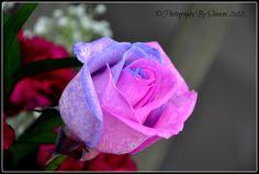 Lilac & Pink Rose Rose