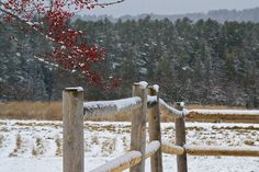 Soft snow landscape with red berries, wooden fence, and green forest background. Shot in Damariscotta, Maine. (Licensing available.)