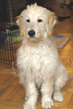 Goldendoodle (Boomer face grooming idea)