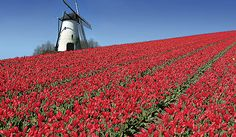 Nothing says Holland more than a field of tulips with a windmill!  See what Holland has to offer you aboard a canal and river cruise with the Smithsonian Dutch & Flemish Landscapes tour.   http://www.smithsonianjourneys.org/tours/cruises-to-holland/#