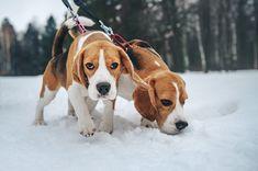 Beagle, by Anna Tyurina.