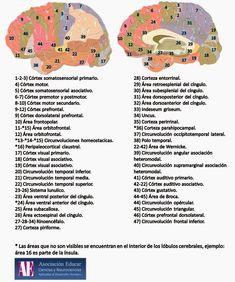 NEUROANATOMIA: ESTRUCTURAS CORTICALES Y SUBCORTICALES