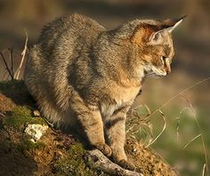Discover details and pictures of the different species of feline family in 4 walking circuits. Chausie Cat, Wild Cat Species, Spotted Cat, Jungle Cat, Caracal, Rainforests, Fish Ponds, Small Cat, Junk Drawer